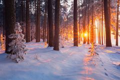 Winter forest. Christmas sunrise in snowy forest. stock photo