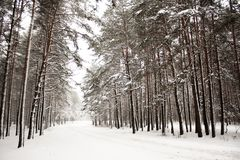 Winter forest, Christmas time royalty free stock photo