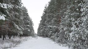 Winter forest Christmas tree, pine trees in snow winter nature beautiful landscape road path in the forest. Winter forest Christmas tree, pine trees in snow stock footage