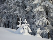 Winter forest. Christmas trees in the snow royalty free stock photo