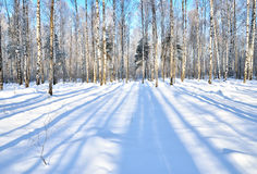 Winter Forest in clear day Stock Photos