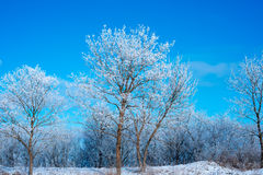 Winter Forest in clear day. Blue sky. Beautiful landscape Royalty Free Stock Image