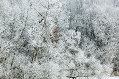 Winter Forest Coated with Hoarfrost Royalty Free Stock Photo