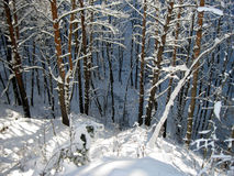 Winter forest. Stock Images