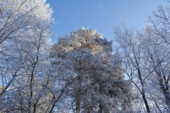 Winter forest with conifer and deciduous trees covered by hoarfrost. Wintry view. Wonderland.  royalty free stock images