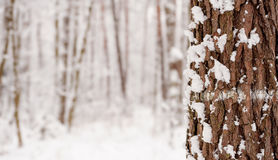 Winter forest. Copy space. Stock Photography