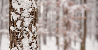 Winter forest. Copy space. Royalty Free Stock Image