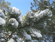 Winter forest covered with blue sky. royalty free stock photography