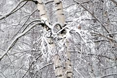 Winter forest covered with clean white snow with birch tree with snowy branches. On the front Royalty Free Stock Photos