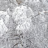Winter forest covered with clean white snow with birch tree with snowy branches on the front. Beautiful winter forest covered with clean white snow with birch Royalty Free Stock Images