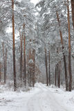 Winter forest. Covered by snow Stock Images