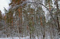 Winter forest. In the winter forest covered with snow Royalty Free Stock Photo