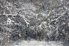 winter forest covered with snow royalty free stock image