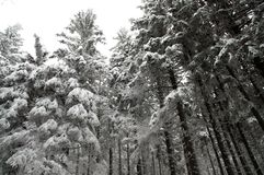 Winter forest covered in snow Stock Photo