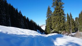 Winter forest covered with snow. The sun`s rays penetrate the trees. Shadow on snow from coniferous trees. Blue sky. Spruce covered with snow. The sun shines stock photography