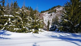 Winter forest covered with snow. The sun`s rays penetrate the trees. Shadow on snow from coniferous trees. Blue sky. Spruce covered with snow. The sun shines stock photos