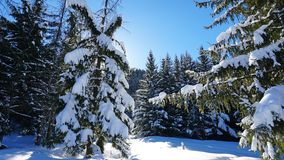 Winter forest covered with snow. The sun`s rays penetrate the trees. Shadow on snow from coniferous trees. Blue sky. Spruce covered with snow. The sun shines royalty free stock image