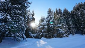 Winter forest covered with snow. The sun`s rays penetrate the trees. Shadow on snow from coniferous trees. Blue sky. Spruce covered with snow. The sun shines royalty free stock photography