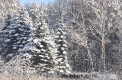 Winter forest covered with snow Royalty Free Stock Images