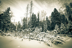 Winter forest covered with snow. tinted Royalty Free Stock Images