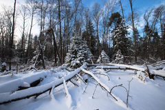 Winter forest covered with snow. tinted Royalty Free Stock Photos