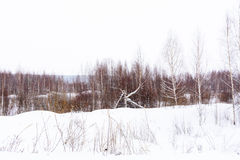 Winter forest covered with snow. tinted. Winter forest covered with snow on a cloudy day. tinted Royalty Free Stock Photography
