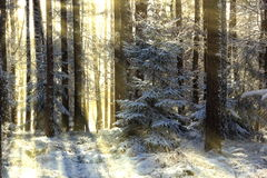 Winter forest in Czech Republic Royalty Free Stock Photography