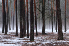 Winter forest. Stock Photos