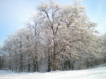 Winter forest December2012. Winter forest near Melitopol city (near region Sea of Azov&#x29 stock images
