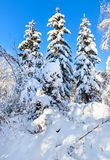 Winter forest depths with spruces Stock Photography