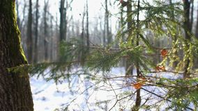 Winter forest, Dolly. Winter forest, Christmas tree in the snowy woods, Dolly, HD, 4K stock video footage