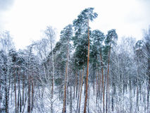 Winter forest. Early morning in the winter forest Stock Images