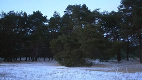 Winter forest in evening, snow in forest, branches of spruce sway the wind stock video footage