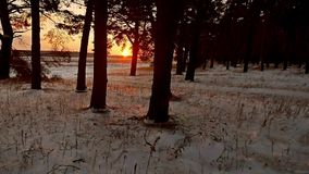 Winter forest evening and sun landscape. sun christmas tree beautiful winter forest snow a glare sunlight. Winter forest evening and sun landscape. sun christmas stock footage