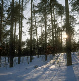 Winter forest. Royalty Free Stock Images