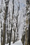 Winter forest on sunny day. Winter forest with falling snow, frozen trees covered with frost against of the blue sky on sunny day, Russia stock images