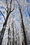 Winter forest on sunny day. Winter forest with falling snow, frozen trees covered with frost against of the blue sky on sunny day, Russia stock image