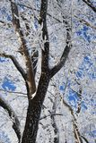 Winter forest on sunny day. Winter forest with falling snow, frozen trees covered with frost against of the blue sky on sunny day, Russia stock photo