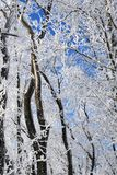 Winter forest on sunny day. Winter forest with falling snow, frozen trees covered with frost against of the blue sky on sunny day, Russia stock photography