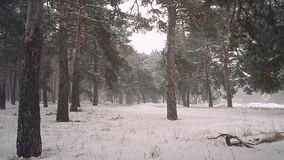 Winter forest falling snow storm in the pine forest trees in the snow. Winter forest falling snow storm in the pine forest trees in the snow stock video footage