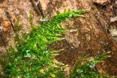 A macro shot of deep green, wet and thick moss. Winter in the forest. Felling in the forest, lumberjack chopping wood and gathering firewood for winter. A macro royalty free stock photography