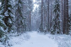 Winter forest in Finland, Europe. Stock Image