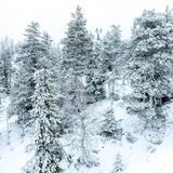 Winter forest with fir trees covered with snow royalty free stock photo