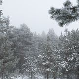 Winter forest in fog, a natural phenomenon, Stock Photo