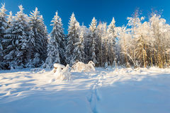 Winter forest and footsteps on the deep snow on frosty sunny day Stock Photography