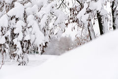 Winter forest after fresh snowfall Royalty Free Stock Image