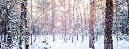 Winter forest frost evening sunset fir tree of pine fir-tree and. Birch City urban scene vibrant toned picture Shot wide andle Stock Photo