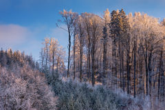 Winter forest with frost Stock Photo