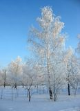 Winter forest. Frosty birchs Royalty Free Stock Photography