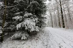 Winter forest. Frosty morning in winter forest.  royalty free stock image